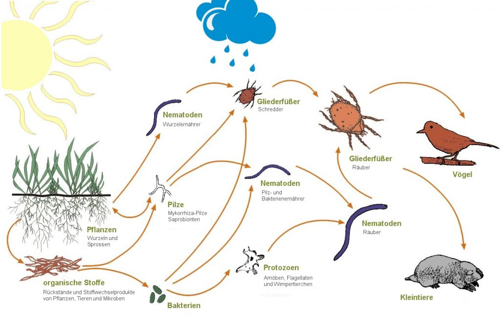 Das Nahrungsnetz des Bodens oder das Soil Food Web